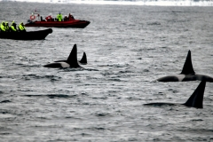 近距離觀賞殺人鯨