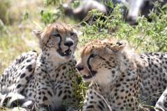 Cheetah06