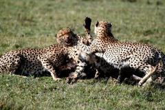 Cheetah12
