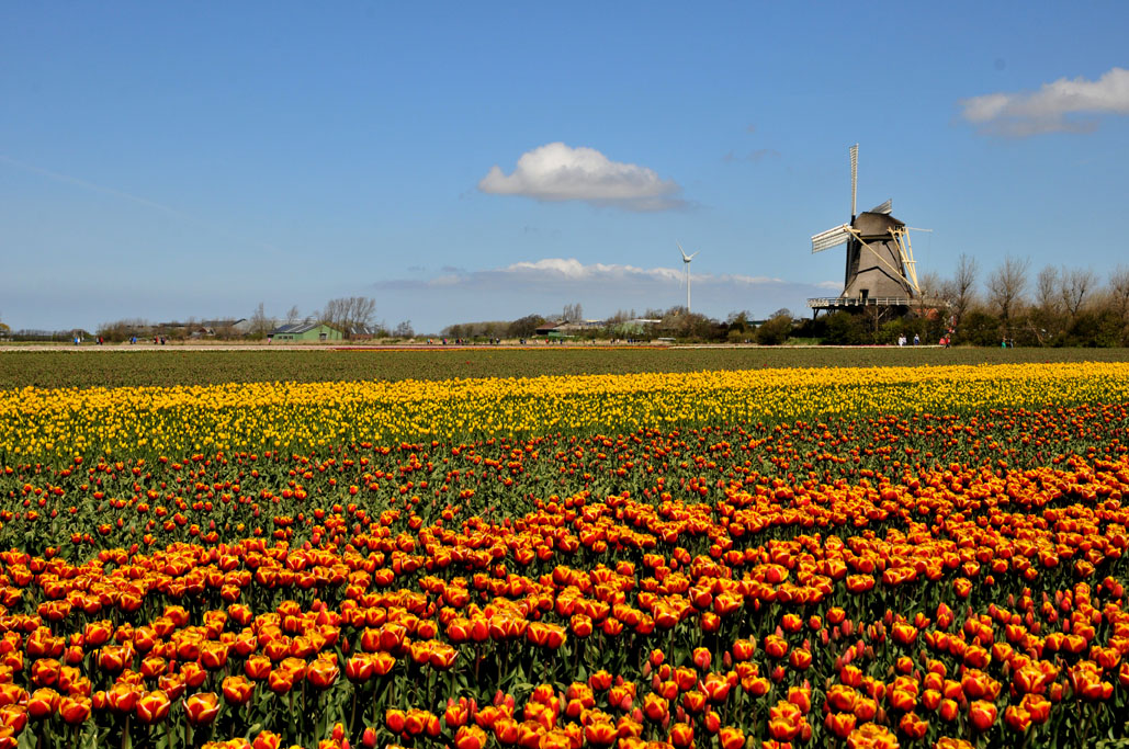 Holland Tulip 01